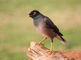 singing mynah