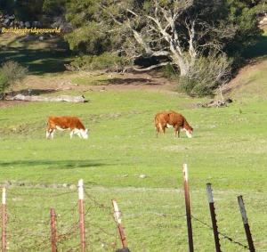 grazing cow california